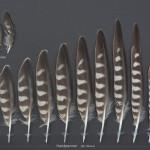 rovfaglar-stenfalk-1