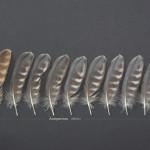 rovfaglar-stenfalk-3