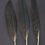 storkfaglar-eremitibis-1