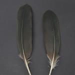 storkfaglar-eremitibis-2