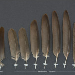 tranochrallfaglar-rorhona-1