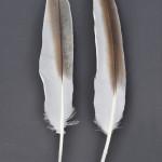 storkfaglar-krushuvadpelikan-2