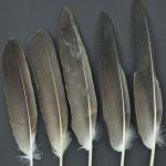 rovfaglar-havsorn-10