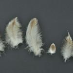 rovfaglar-havsorn-18
