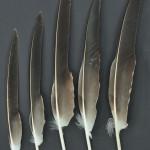 rovfaglar-havsorn-9