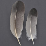 storkfaglar-trana-3