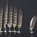 papegojfaglar-nymfparakit-1