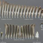 tattingar-bergfink-1