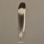 duvfaglar-stenduva-1