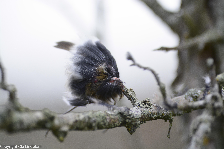 Spetsad småfågel